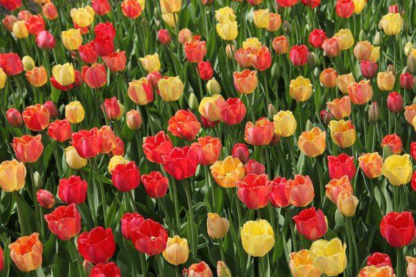 Michigan Bucket List: Holland Tulip Time Festival