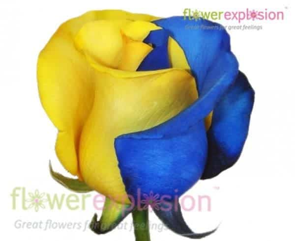 Blue and Yellow Roses from Flower Explosion
